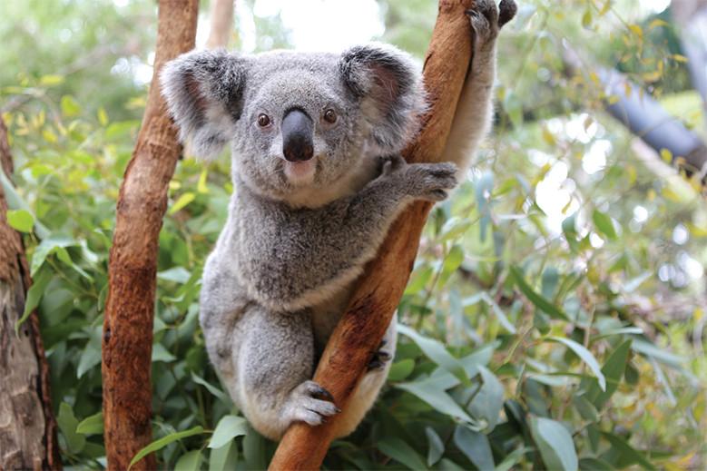 パース動物園のコアラ